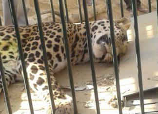 पकड़ा गया तेंदुआ
